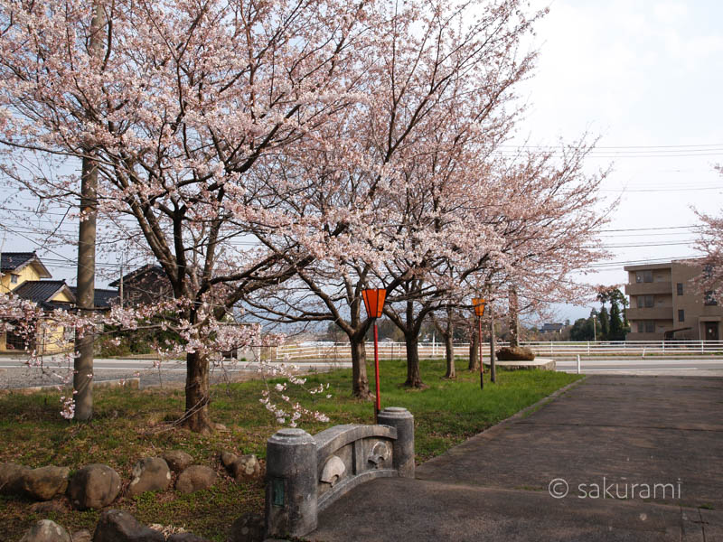 新潟佐渡・新保八幡宮の桜風景