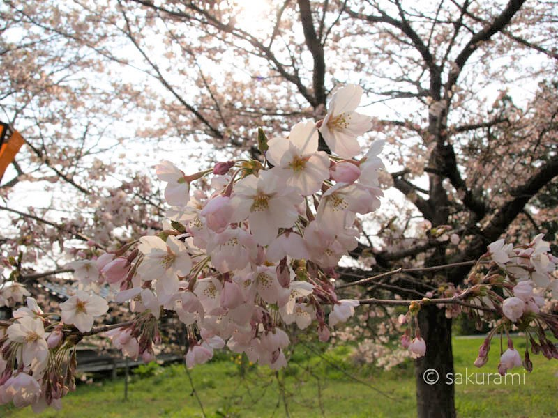 新保八幡宮桜の開花情報